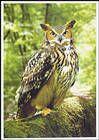№ P181 - Long-Eared Owl (Asio Otus)
