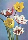 № P43 - Tulips