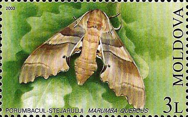 Oak Hawk (Moth)