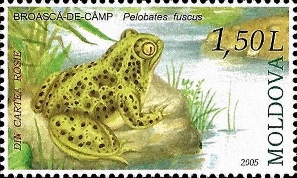 Common Spadefoot Toad