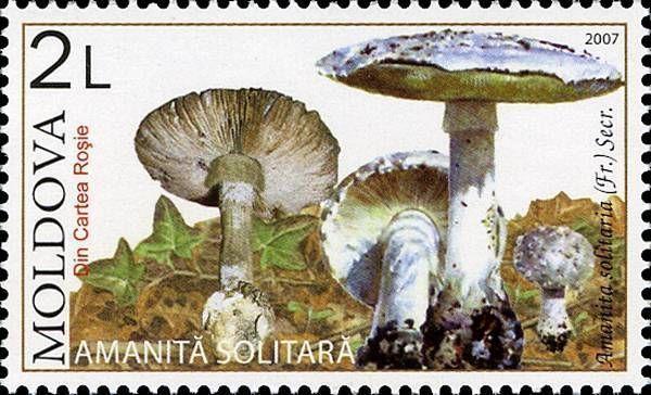 Solitary Amanita (Mushroom)