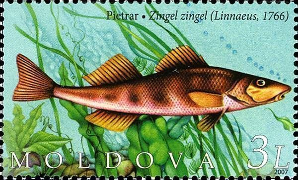 Common Zingel (Zingel Zingel)