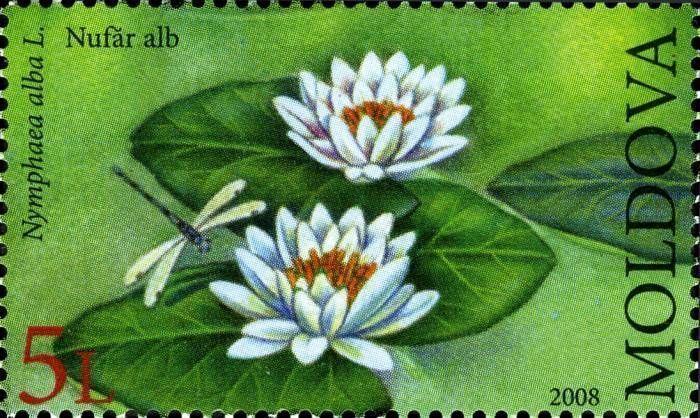 White Waterlily (Nymphaea Alba)