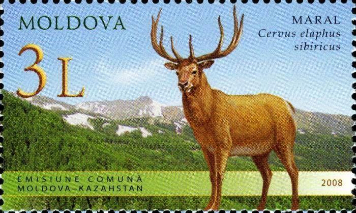 Altai Wapiti or Maral (Cervus Elaphus Sibiricus)
