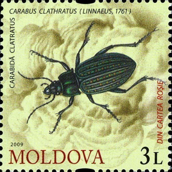 Carabus Beetle