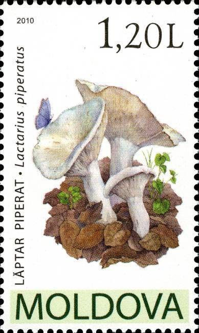 Peppery Milk-Cap (Lactarius Piperatus)
