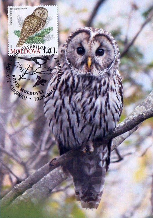 Ural Owl (Strix Uralensis Pallas)