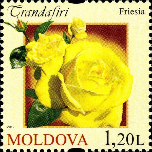 Freisia Rose
