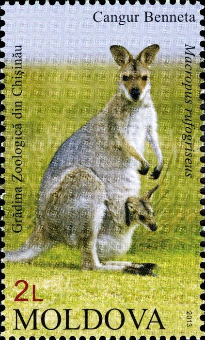 Red-Necked or Bennetts Wallaby