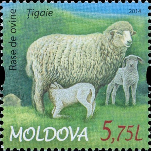 Țigaie Sheep