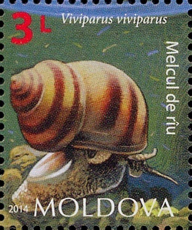 River Snail (Viviparus viviparus)