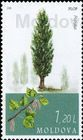 Poplar (Populus)