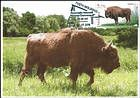 № 1040 MC2 - European Bison (Bison bonasus)