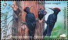 Black Woodpecker (Dryocopus martius)