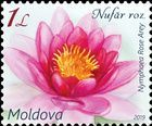 Pink Water Lily (Nymphaea Rose Arey)