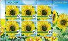 № 1113 Kb - Sunflower (Helianthus annuus)