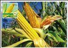 № 1115 MC1 - Maize