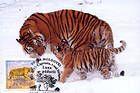 № 397 MC2 - Siberian Tiger