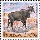Nilgai (Antelope)