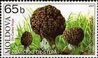 Steppe Morel (Mushroom)