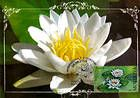 № 618 MC2 - White Waterlily
