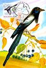 № 701 MC3 - Eurasian Magpie (Pica Pica)