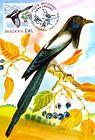 № 701 MC4 - Eurasian Magpie (Pica Pica)