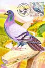 № 702 MC3 - Rock Dove (Columba Livia)