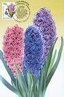 № 751 MC1 - Hyacinth
