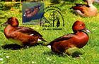 № 766 MC1 - Ferruginous Duck (Aythya nyroca)