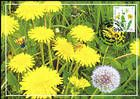№ 954 MC1 - Dandelion (Taraxacum officinale)
