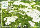 № 955 MC1 - Flora: Wild Flowers 2016