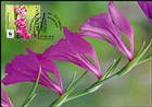 № 960 MC2 - Turkish Marsh Gladiolus (Gladiolus Imbricatus)